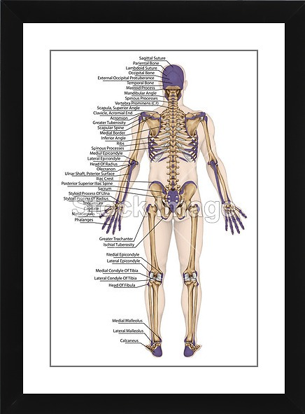 Printoyster anatomical body human skeleton anatomy of human bony anatomical body human skeleton anatomy of human bony system body surface contour and ccuart Image collections